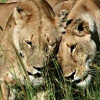 lion nuzzling