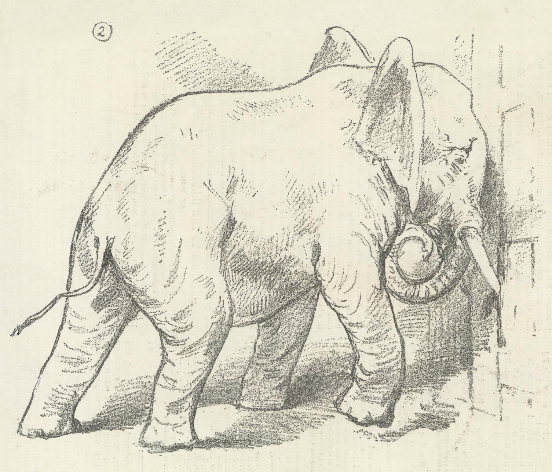 poor dear jumbo u201d elephants empire and empathy in victorian